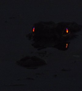 Hiding in the Darkness-photo of a local alligator at night