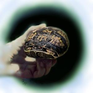Grumpy Box Turtle Illustration by Je' Czaja