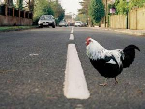 "Rooster crosses road in Brooks County, GA. No one asks ""Why?"""